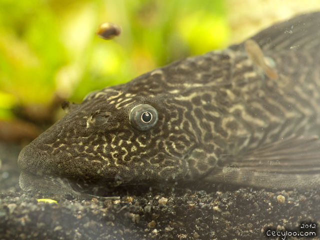 In the eyes of the Plecosaurus/Dans les yeux du plecosaurus